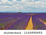 the flowering of lavender in...   Shutterstock . vector #1143490493