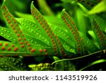 Fern Leaves With Spores In...