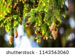 pine cones branch view. close... | Shutterstock . vector #1143563060