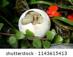 close up baby tortoise hatching ... | Shutterstock . vector #1143615413