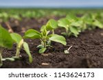 fresh green soy plants on the... | Shutterstock . vector #1143624173
