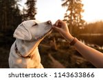 Stock photo young beautiful labrador retriever puppy is eating some dog food out of humans hand outside during 1143633866