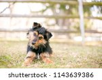 a scruffy black and red terrier ... | Shutterstock . vector #1143639386