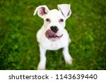 Stock photo a hungry great dane puppy with large floppy ears licking its lips 1143639440