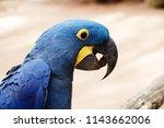 Beautiful Hyacinth Macaw  Blue...