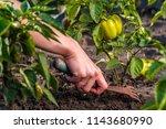 weeding green pepper on the... | Shutterstock . vector #1143680990