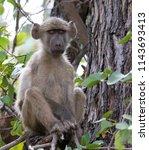 chacma baboon portrait  kruger... | Shutterstock . vector #1143693413
