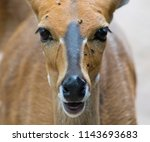 bushbuck up close  kruger... | Shutterstock . vector #1143693683