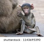 trouble making baboon  kruger... | Shutterstock . vector #1143695390