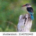 grey headed kingfisher  kruger... | Shutterstock . vector #1143702443