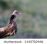grey headed kingfisher  kruger... | Shutterstock . vector #1143702446