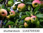 domestic apples  malus x... | Shutterstock . vector #1143705530