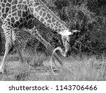 giraffe drinking in black and... | Shutterstock . vector #1143706466