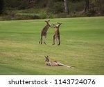 Two Male Australian Kangaroos...