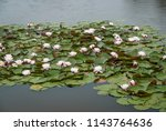 water lilies with pink flowers... | Shutterstock . vector #1143764636