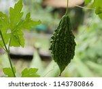 young dark green bitter gourd... | Shutterstock . vector #1143780866