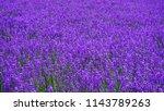Lavender Field In Furano ...