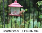young northern cardinal... | Shutterstock . vector #1143807503