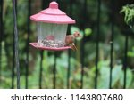 young northern cardinal... | Shutterstock . vector #1143807680