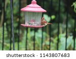 young northern cardinal... | Shutterstock . vector #1143807683