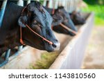 Cow Bajima Wagyu Mixed Cattle - Fine Art prints