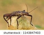 eurycantha calcarata  common... | Shutterstock . vector #1143847403