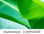 Green Banana Leaf With Water...