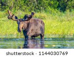A large bull moose standing in the shallow water at the edge of a lake in the early morning