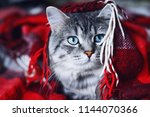 Stock photo lazy lovely fluffy cat relaxing on soft woolen blanket gray tabby cute kitten with beautiful blue 1144070366
