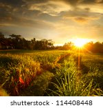 Sunset Over Rice Field. Ubud ...