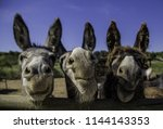 smiling farm donkeys  detail of ... | Shutterstock . vector #1144143353