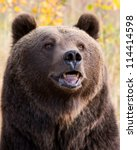 grizzly bear portrait | Shutterstock . vector #114414598