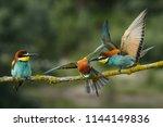 european bee eaters fighting | Shutterstock . vector #1144149836