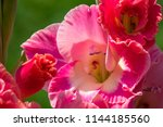 gladiolus in bloom  close up of ... | Shutterstock . vector #1144185560