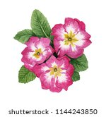 watercolor primrose flowers | Shutterstock . vector #1144243850