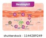neutrophil vector illustration. ... | Shutterstock .eps vector #1144289249