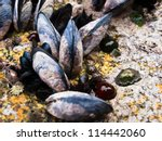 Mussels Anemones And Algae On...