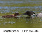 a common loon  gavia immer ... | Shutterstock . vector #1144453883