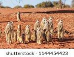 meerkat family  suricata...   Shutterstock . vector #1144454423