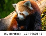 Red Panda On Tree With Green...