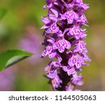 blossoms of dactylorhiza... | Shutterstock . vector #1144505063