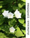 white blossoms of ornamental... | Shutterstock . vector #1144505066