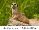 cute little meerkat  suricata... | Shutterstock . vector #1144547036