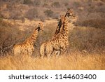 Tall Giraffe In Dry Bush In...