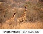 Tall Giraffe In Dry Bush In...