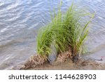 the bushes of grass growing on ... | Shutterstock . vector #1144628903