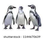 Three Of  Humboldt Penguin