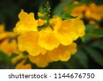 close up of a beautiful yellow... | Shutterstock . vector #1144676750