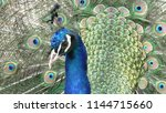 photo of a beautiful peacock... | Shutterstock . vector #1144715660