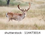 A Fallow Deer During The...